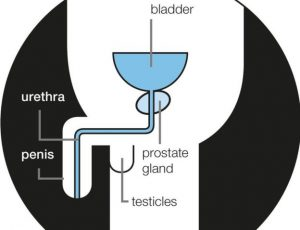 prostate-gland-diagram_with-labels_in-circle